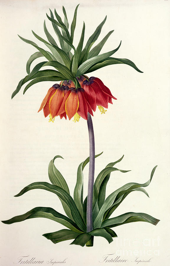 Fritillaria Drawing - Fritillaria Imperialis by Pierre Joseph Redoute