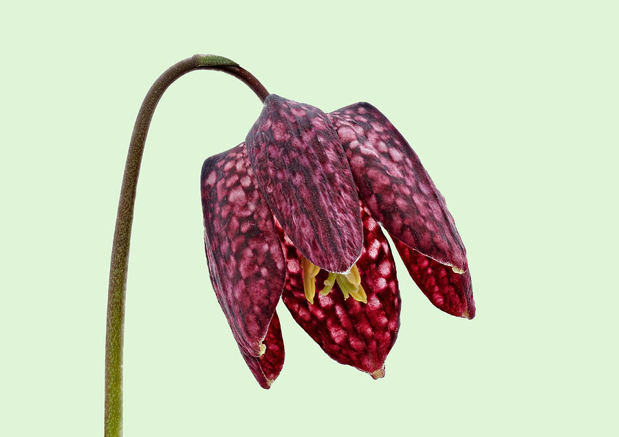 Fritillaria meleagris - Green Background by Paul Gulliver