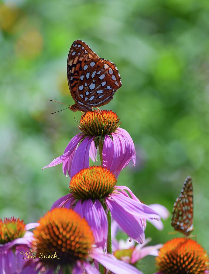 Fritillary Buttterfly by Chris Busch