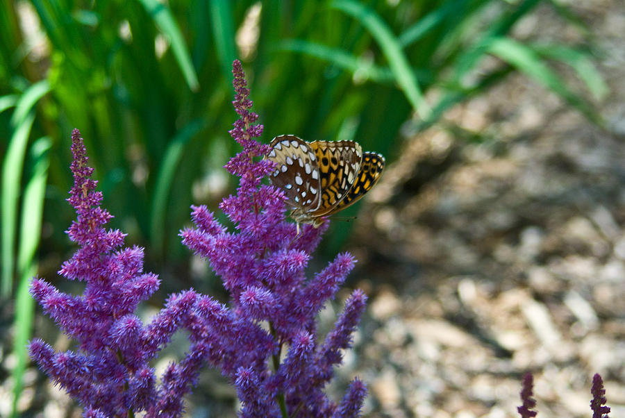 Fritllary Butterfly On Astilbe Photograph