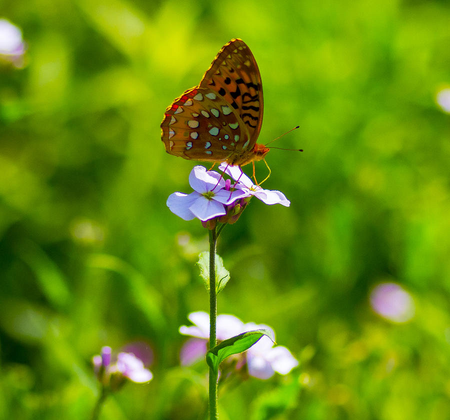 Frittilary Butterfly On Flower Photograph