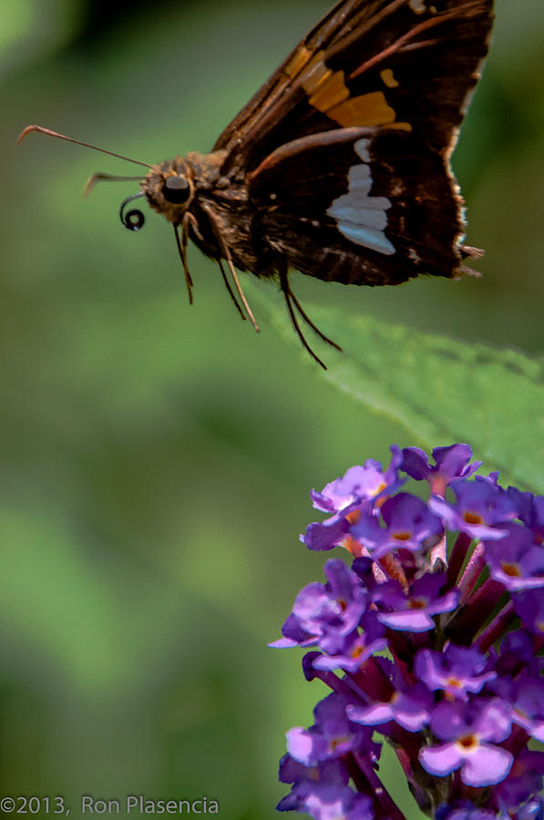 Butterfly Photograph - Frittin Away by Ron Plasencia