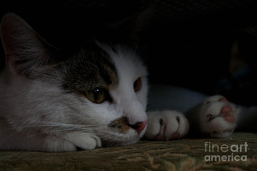 Cat Photograph - Frodo by Marta Grabska-Press