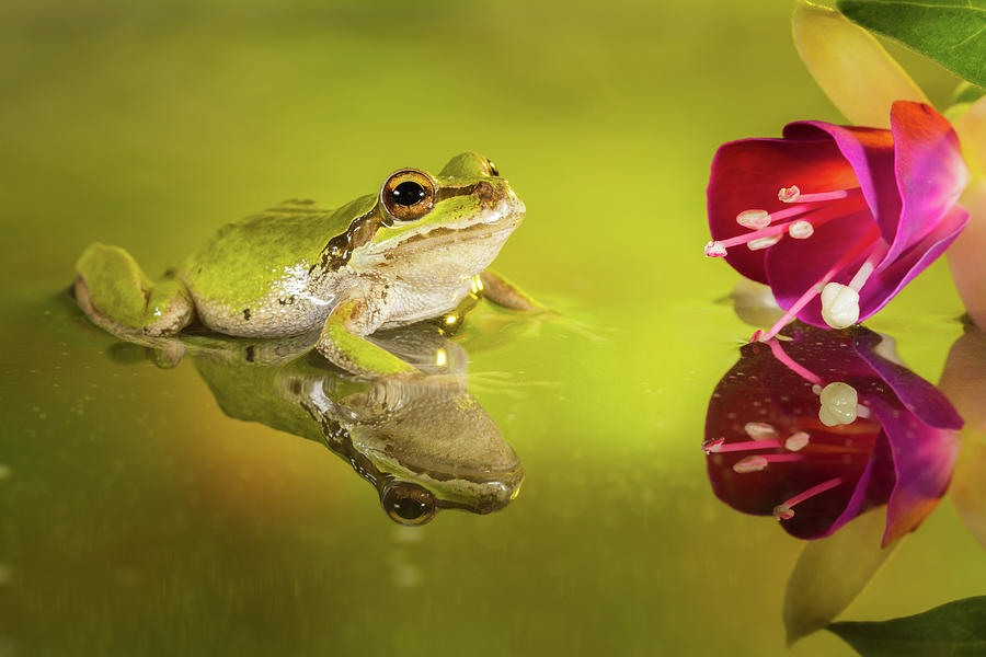 Frog Photograph - Frog And Fuchsia With Reflections by William Freebilly photography