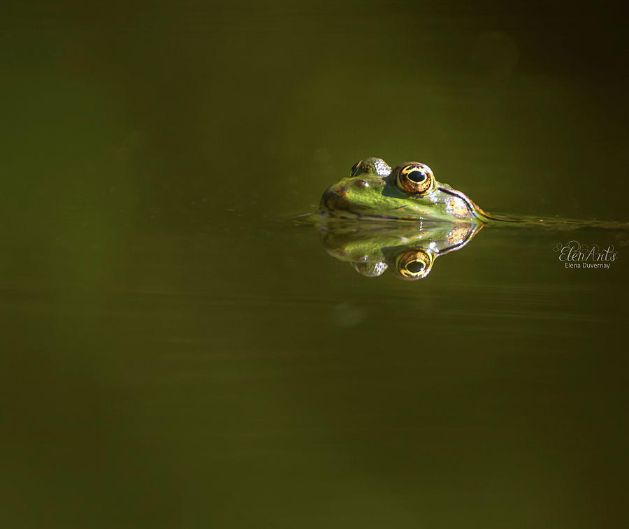 Frog eyes reflection by Elenarts - Elena Duvernay photo