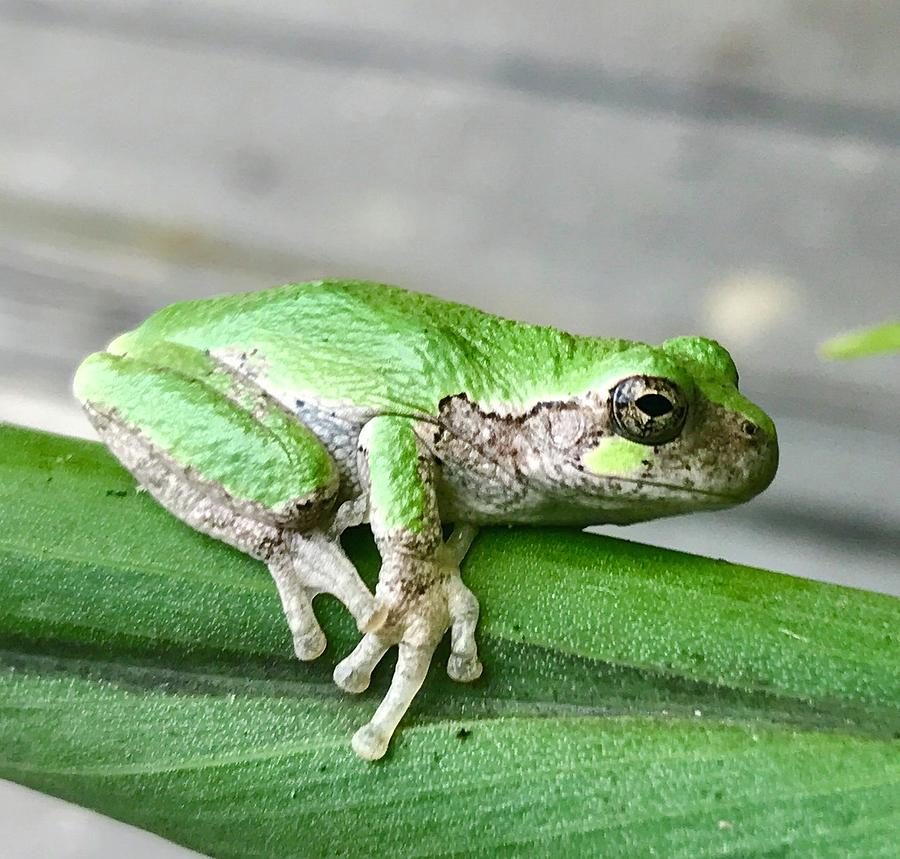 Nature Photograph - Frog by Gillis Cone
