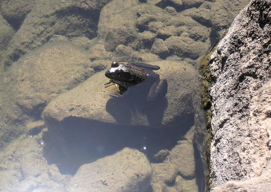 Frog In Pond Photograph - Frog in Pond by Colleen Cornelius