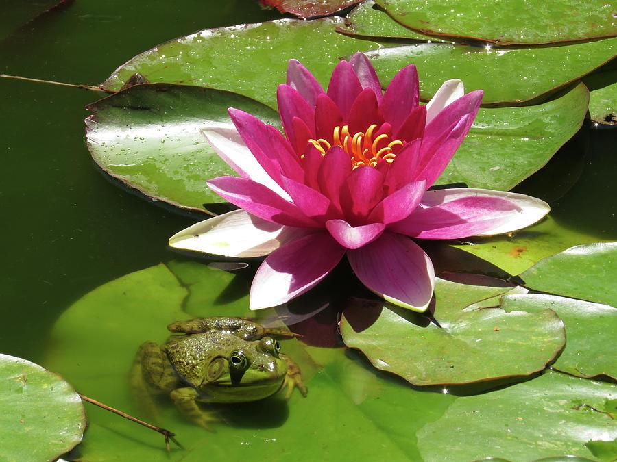 frog-on-a-lilypad-maryellen-feeney.jpg