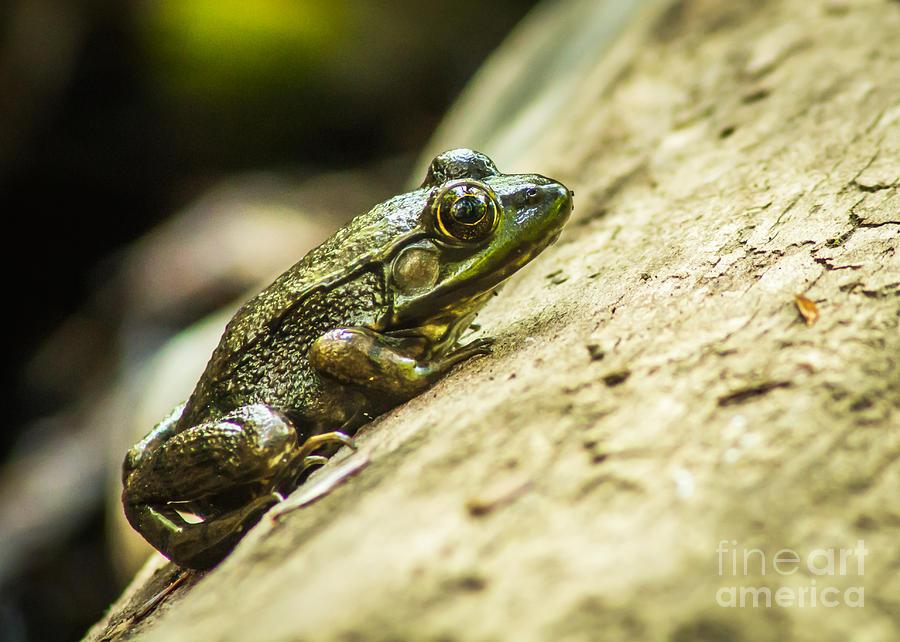 Frog On A Log Photograph