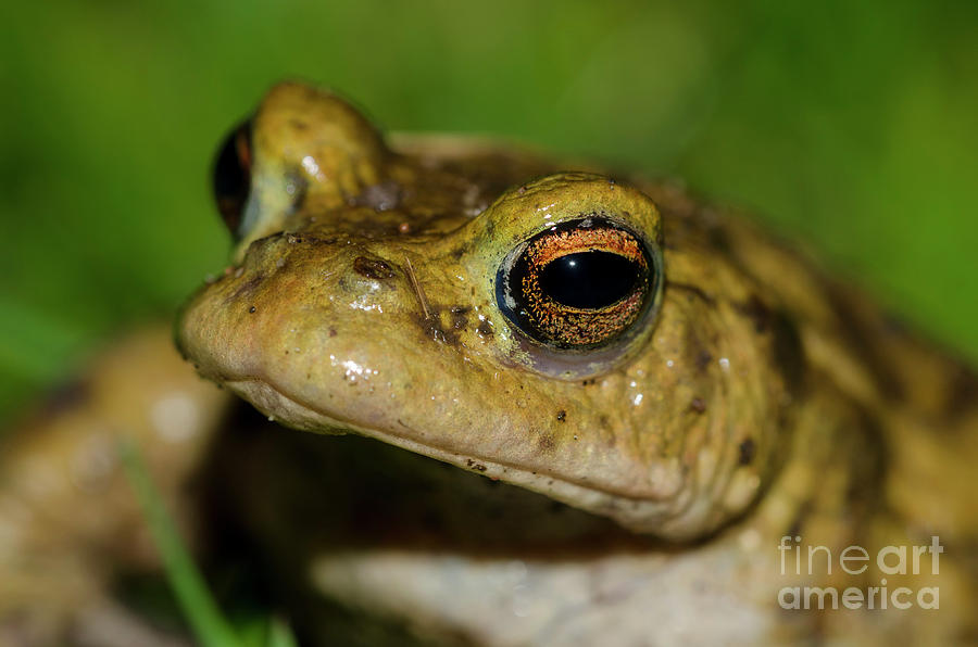 Frog Photograph - Frog Posing by Steev Stamford
