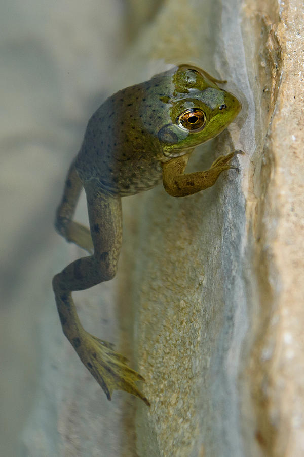 Frog Photograph - Frog Swim by Paul Moore