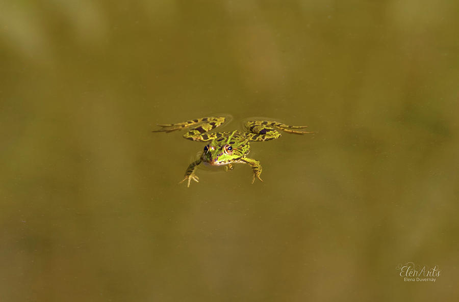 Frog swimming alone by Elenarts - Elena Duvernay photo