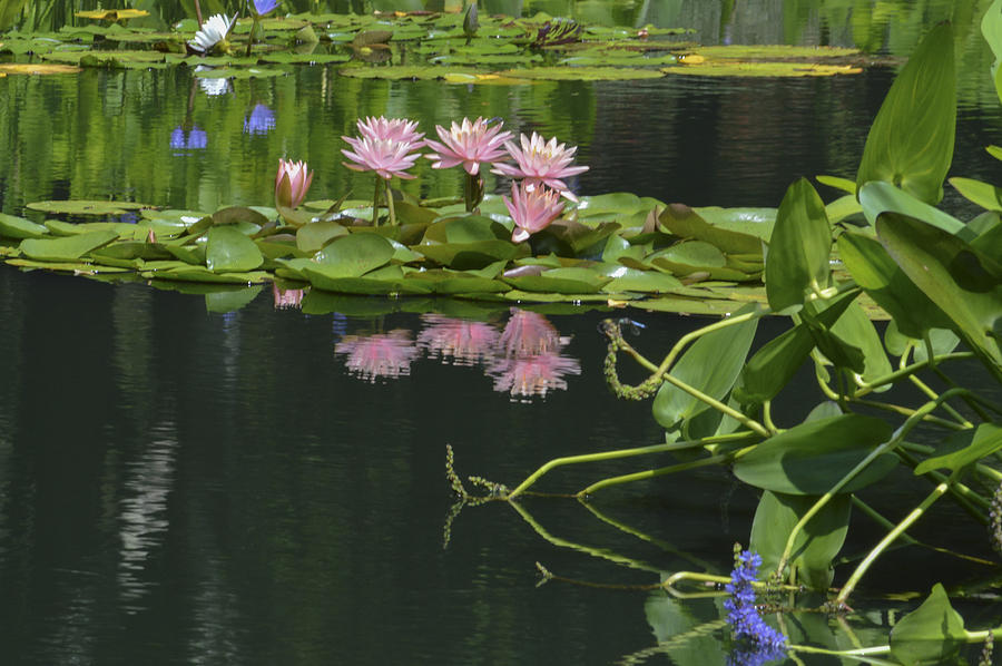 Waterlilies Photograph - Water Lily Reflections by Linda Geiger