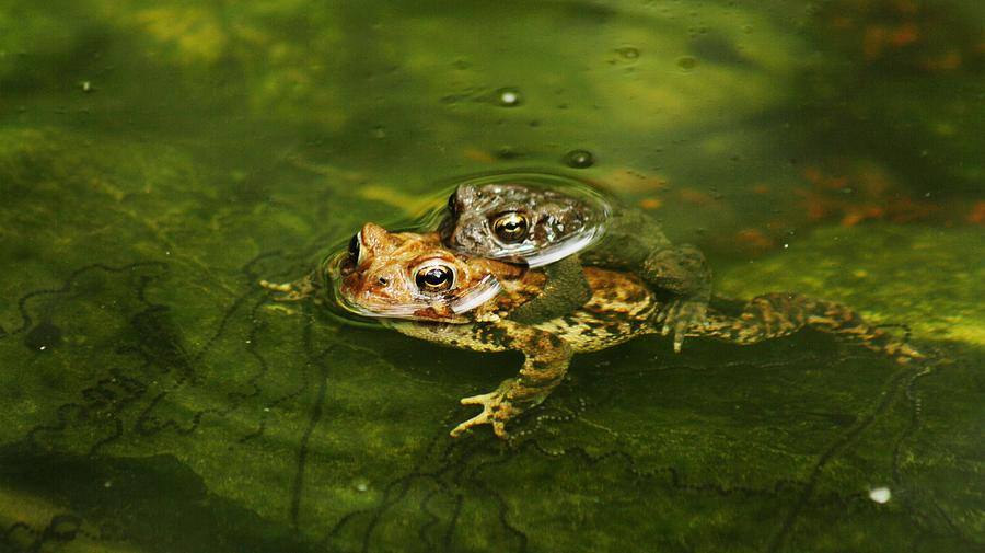 Nature Photograph - Frogs In Love by Valia Bradshaw