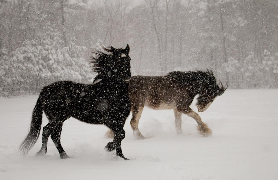 Horses Photograph - Frolic In The Snow by Kristia Adams