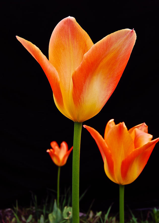 Tulip Photograph - Front Runner by Michael Peychich