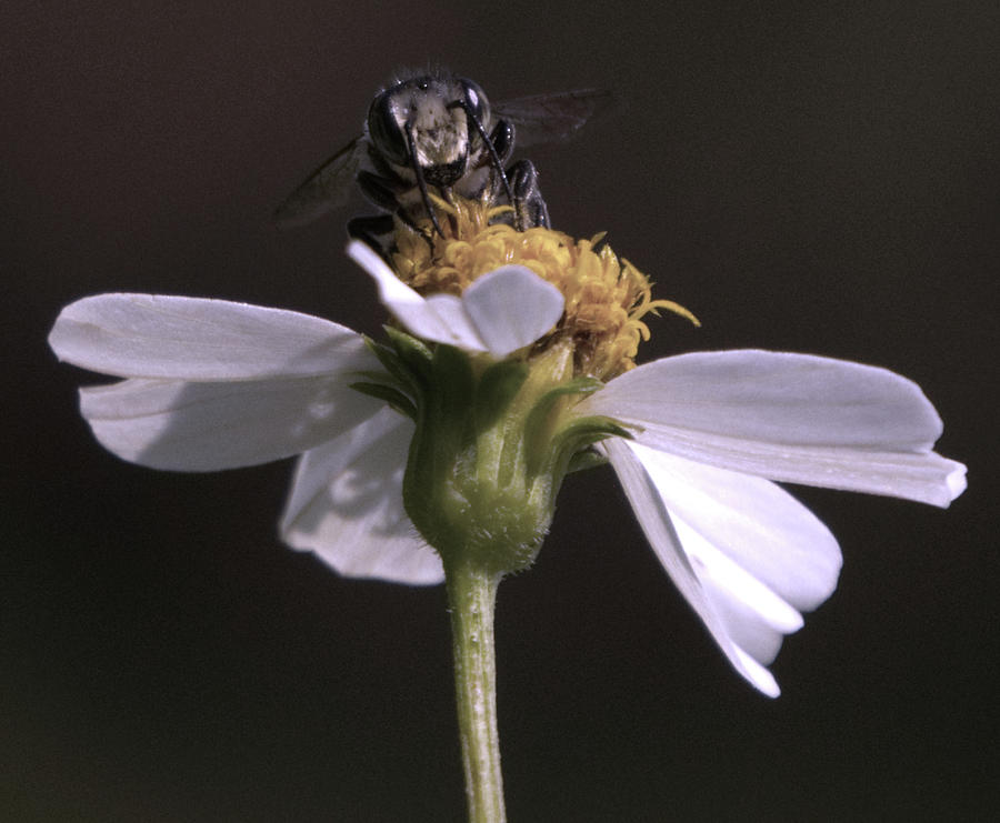 Frontal view of a bee on a flower by Vincent Billotto
