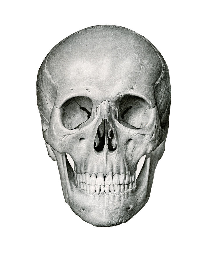 vintage drawing frontal view of human skull by german school