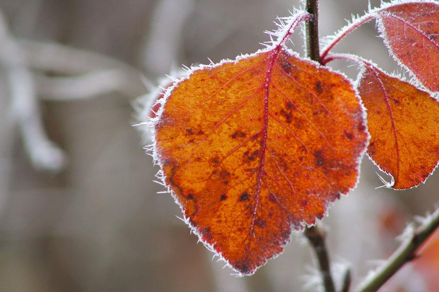 Frost Photograph - Frost and Red Leaf by Shelly Dixon