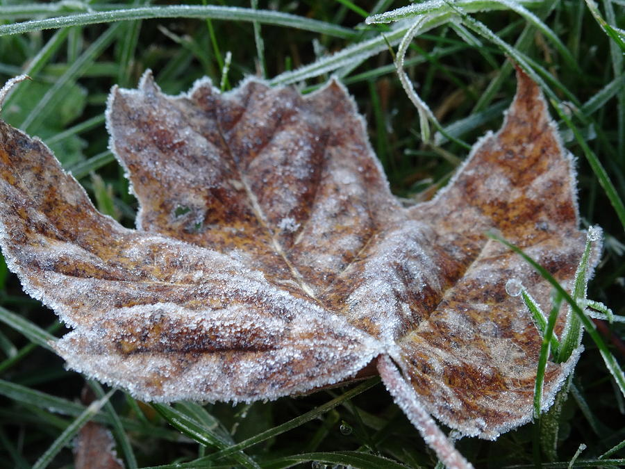 frost covered leaf by Amanda Balough