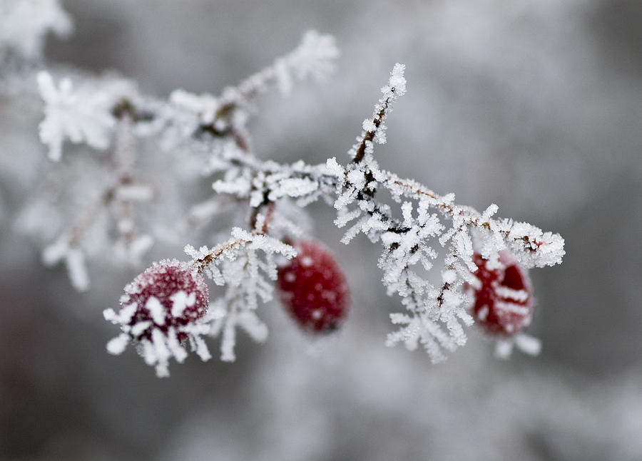 Frost Photograph - Frost by Frank Tschakert