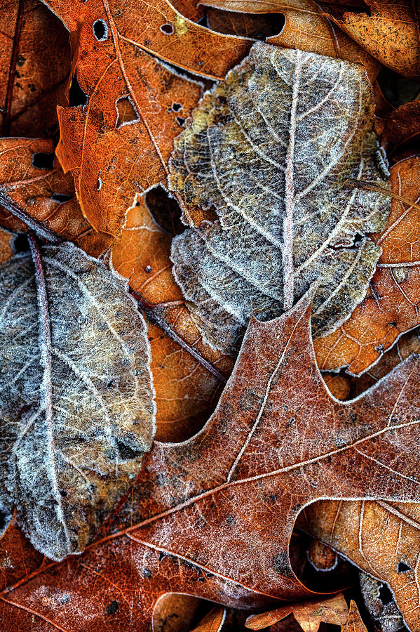 Frost On Leaves #1 Photograph