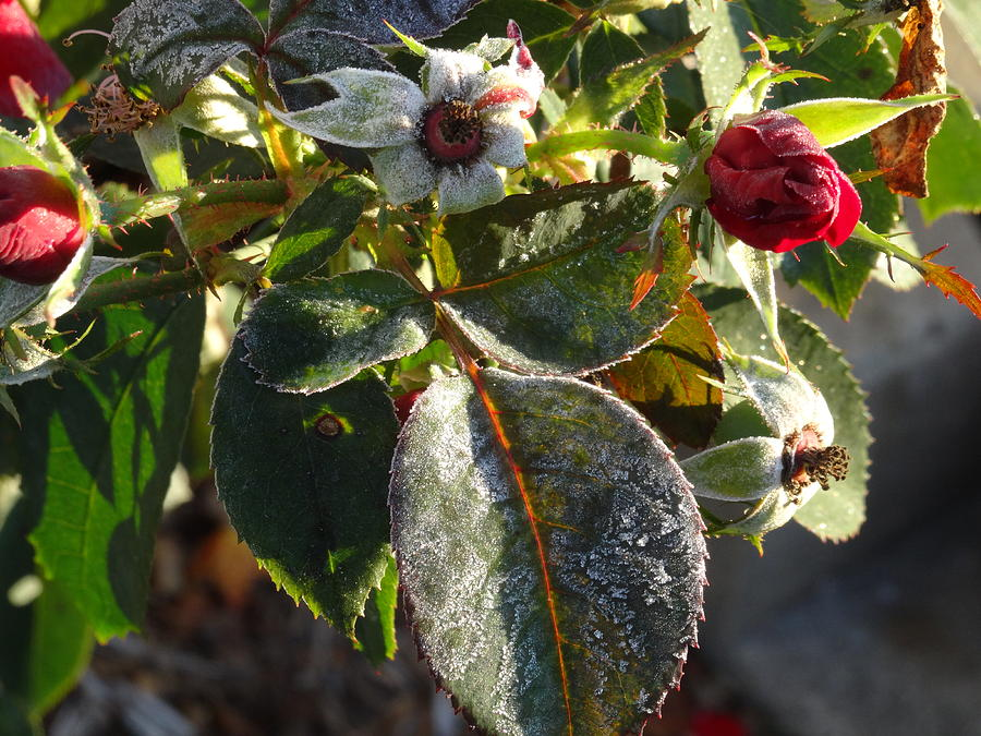 frost rose bud by Amanda Balough