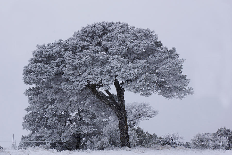 Frost Tree by Julie Carter
