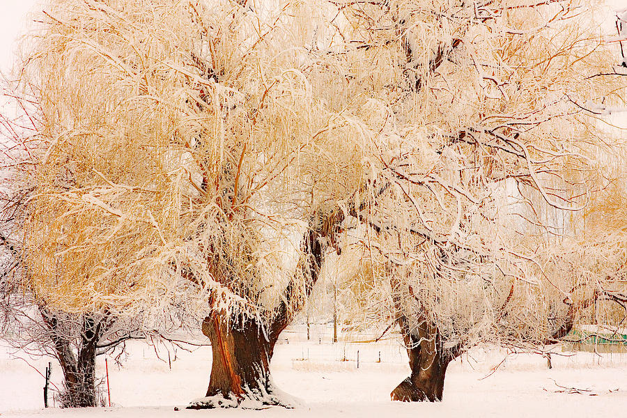 Trees Photograph - Frosted Golden Trees by James BO Insogna