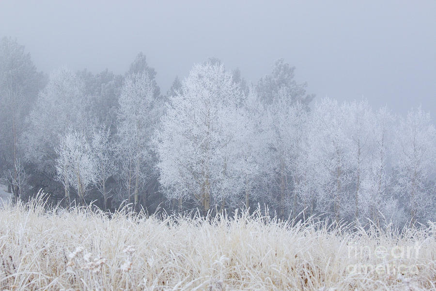 Frosty Aspen Grove On Bald Mountain Photograph