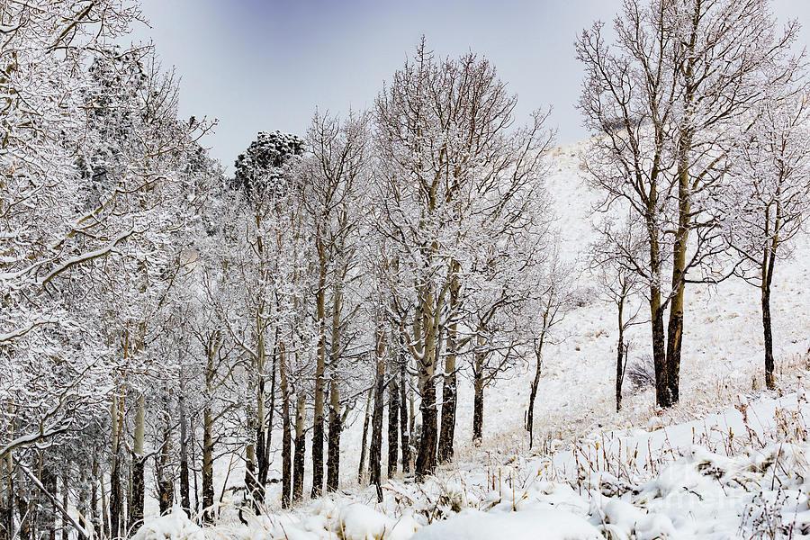 Frosty Aspen Trees Photograph