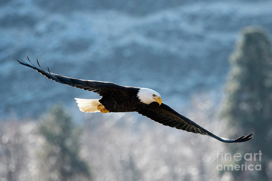 Bald Eagle Photograph - Frosty Glide by Mike Dawson