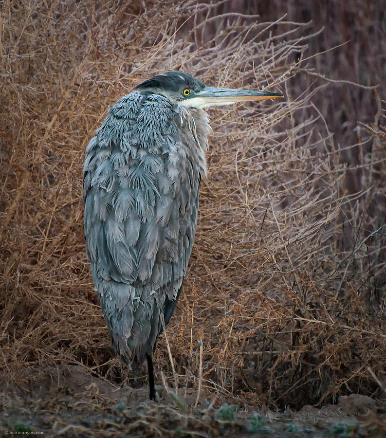 Frosty Heron by Britt Runyon