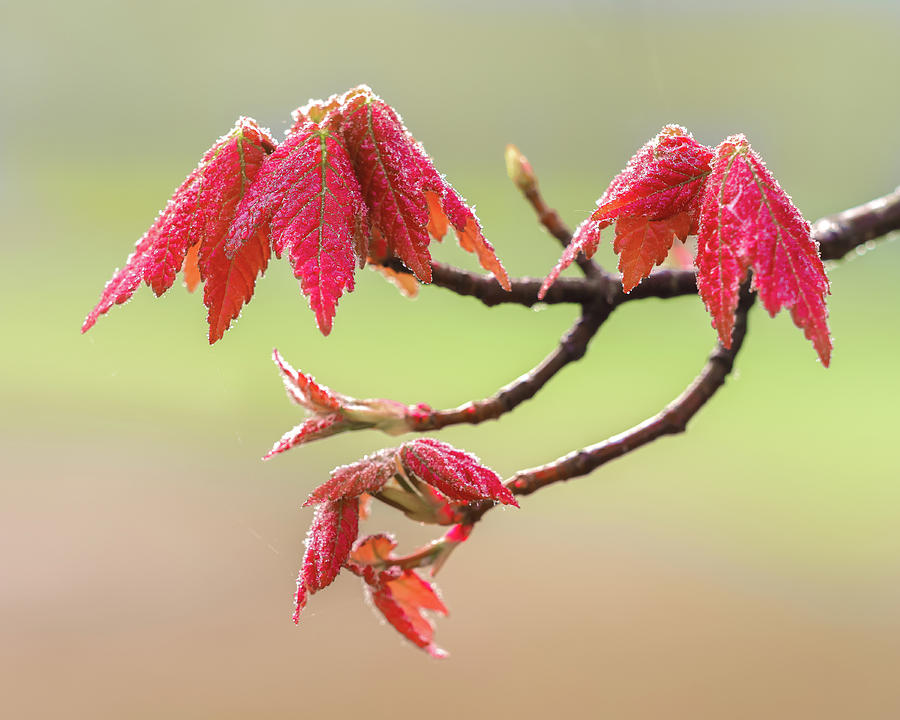 Frosty Maple Leaves by Steve Zimic