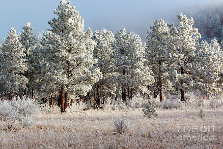 Frosty Pikes National Forest Photograph