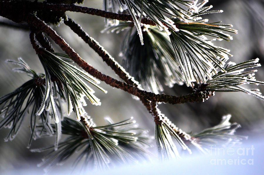 Frosty Pine Tree - Winter In Switzerland Photograph