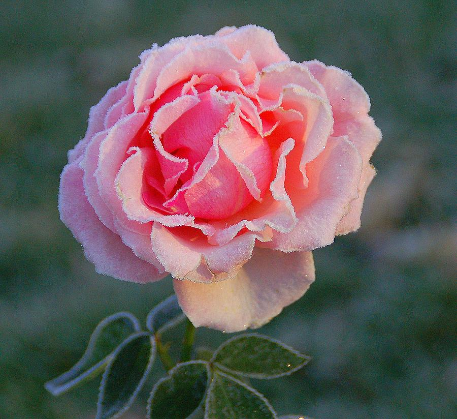 Frost Photograph - Frosty Rose by Monica Lewis