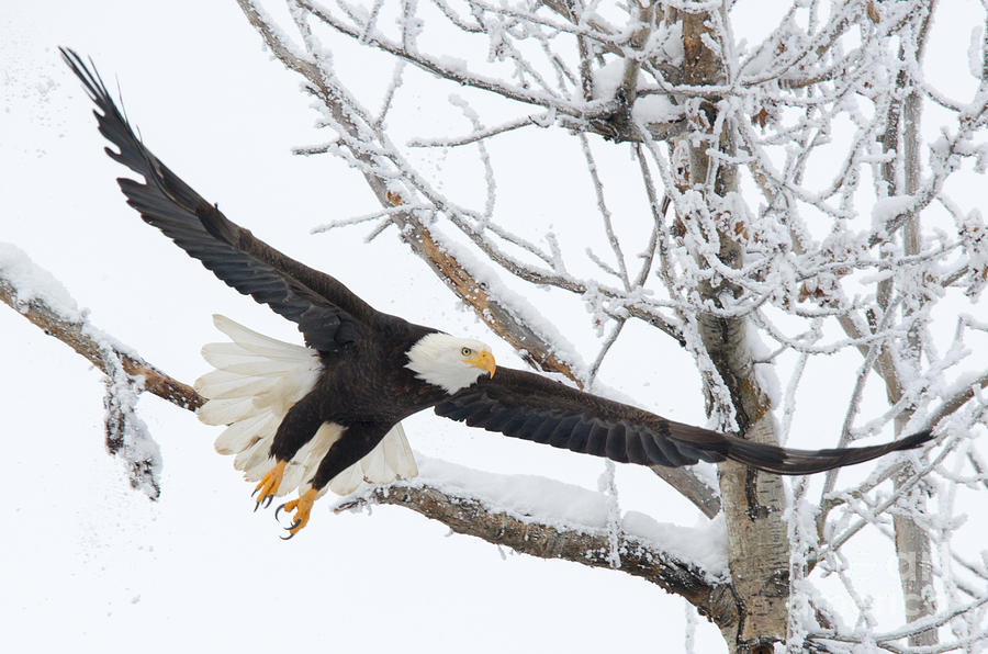 Bald Eagle Photograph - Frosty Take-off by Mike Dawson