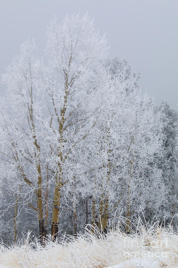 Frosty Trees For Thanksgiving On Bald Mountain Photograph