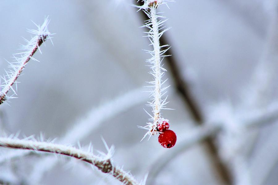 Frosty Wild Berry Photograph