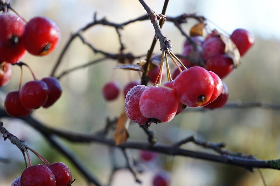 Apples Photograph - Frozen autumn by Christian Trajkovski