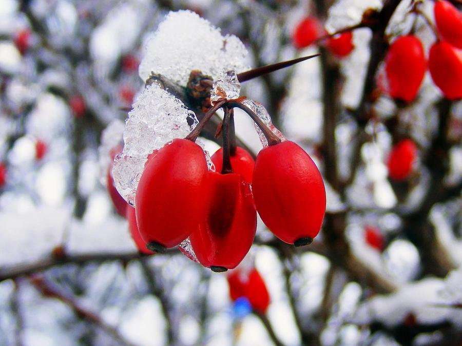 Nature Photograph - Frozen Red Berries by Ms Judi