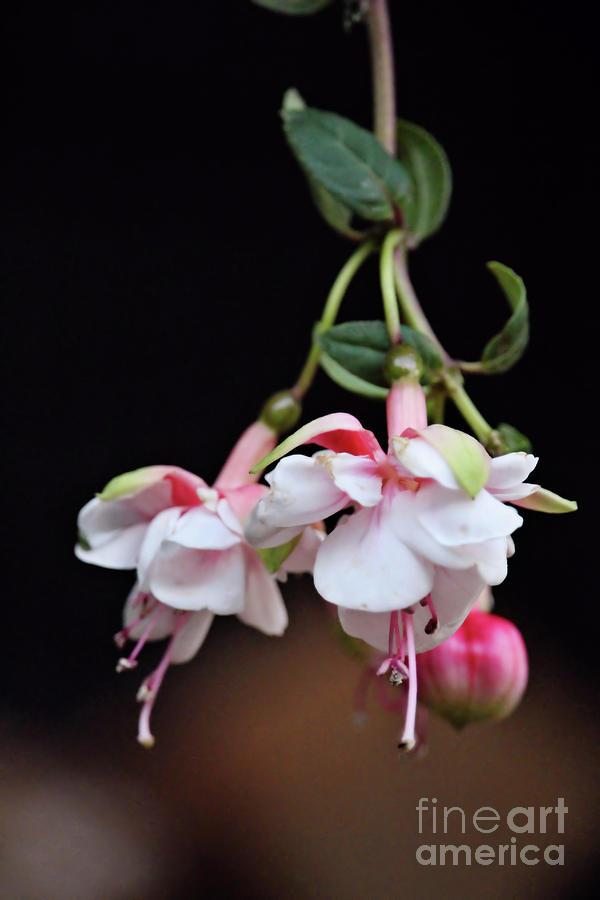 Fuchsia Photograph - Fuchsia 2 by Victor K
