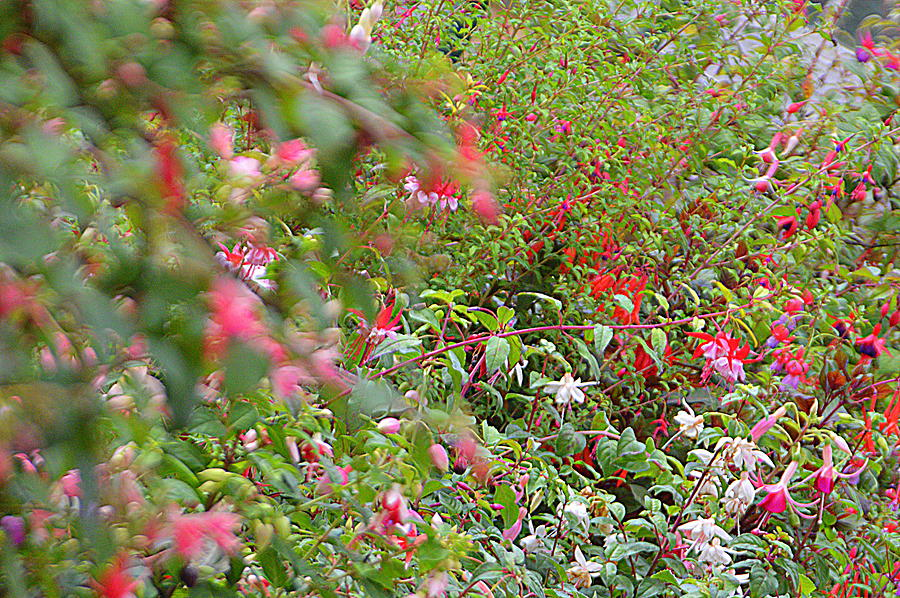 Fuchsias Photograph - Fuchsia  by Andy Thompson