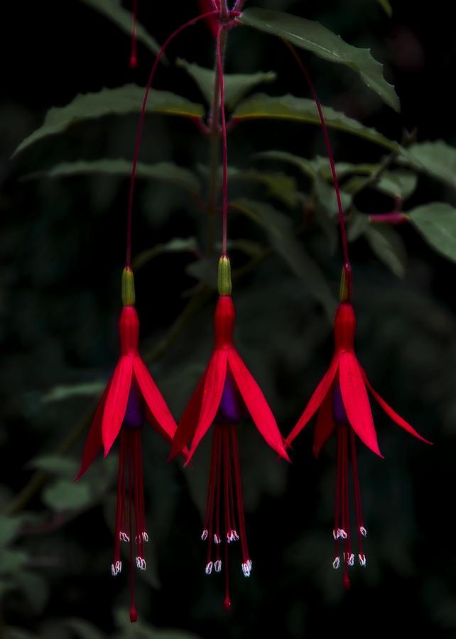 Fuchsia Photograph - Fuchsia Bloom by Svetlana Sewell