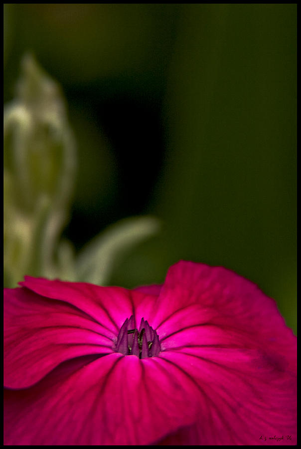 Flora Photograph - Fuchsia Delight by Daniel G Walczyk