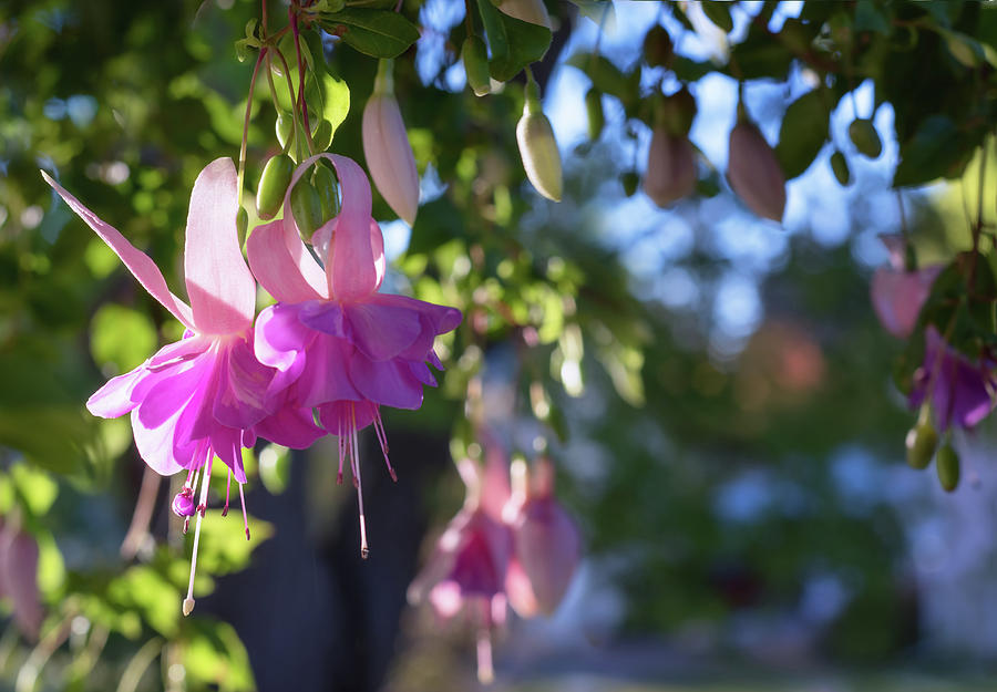 Fuchsia by Harold Coleman
