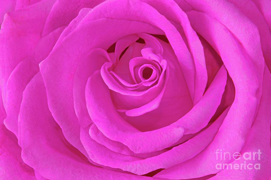 Fuchsia-pink Rose Portrait Photograph
