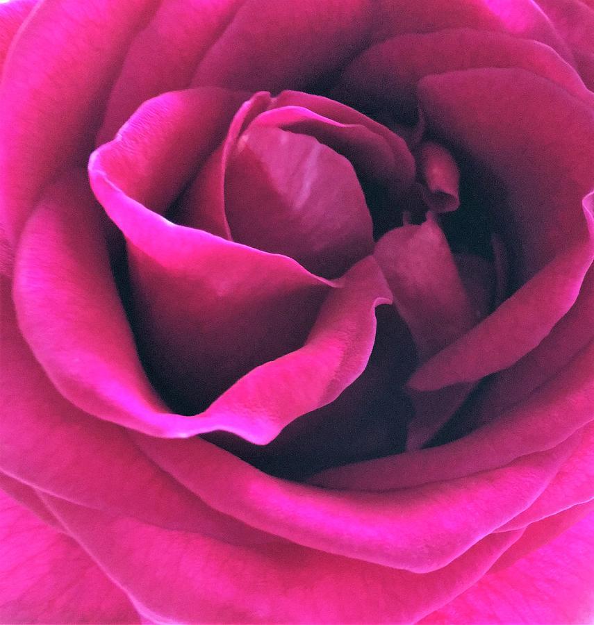 Цвет фуксия розы фото