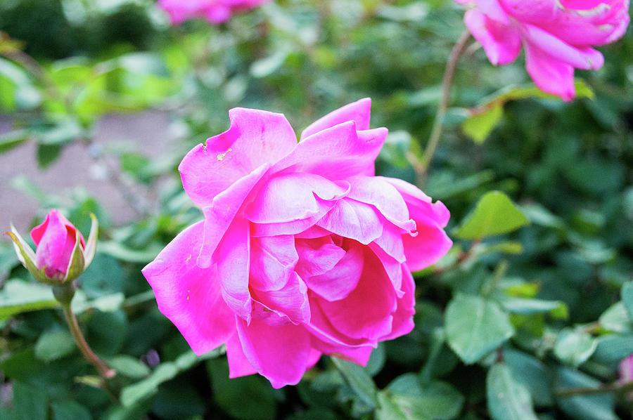 Fuchsia Roses by Lisa Blake